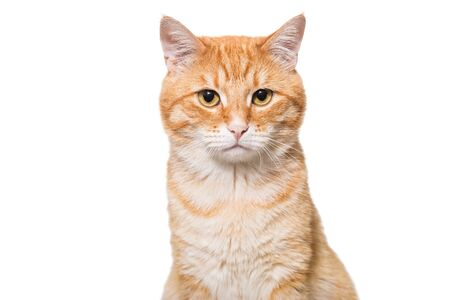 pet cat: Portrait of a serious orange cat isolated on white Stock Photo