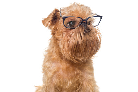 brussels griffon: Dog portrait with glasses, breed Brussels Griffon isolated on white