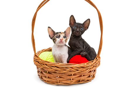 cornish rex: Two little kittens Cornish Rex in a basket, isolated on white