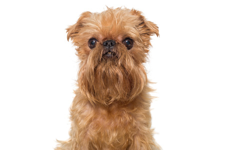 brussels griffon: Portrait dog breed Brussels Griffon isolated on white Stock Photo