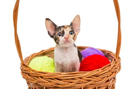 cornish rex: Little kitten Cornish Rex in a basket, isolated on white Stock Photo