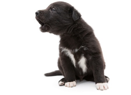 cries: Small, black puppy cries and howls, isolated on white Stock Photo