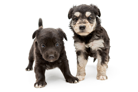 pooch: Two small, serious puppy pooch, isolated on a white background Stock Photo