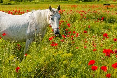 Cheval blanc broutant dans un beau champ parmi les coquelicots en fleurs Banque d'images - 81498374