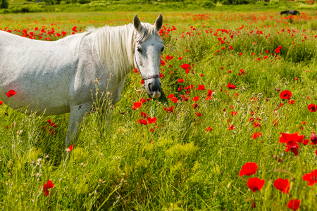 Het witte paard weiden op een mooi gebied onder bloeiende papavers Stockfoto