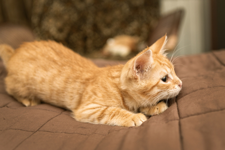 Little red kitten on a blanket bed Stock Photo