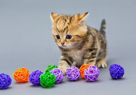 Little kitten British marble plays with balls on grey background Stock Photo