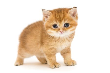 Little orange kitten of the British breed  , isolated on white