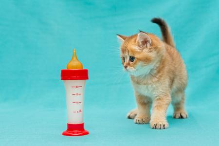 Pequeño gatito de mármol británico y una botella de leche sobre fondo azul