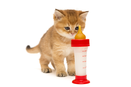 Small British kitten and bottle of milk isolated on white