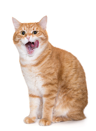 Beautiful, big ginger cat licking his chops isolated on white