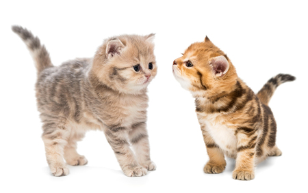 Two little kittens of the British breed, isolated on white Stock fotó