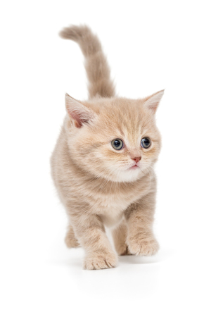 British kitten in beige color goes forward, isolated on white