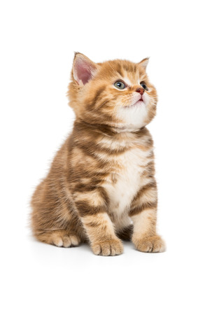 Small striped kitten breed British marble looking up, isolated on white Фото со стока