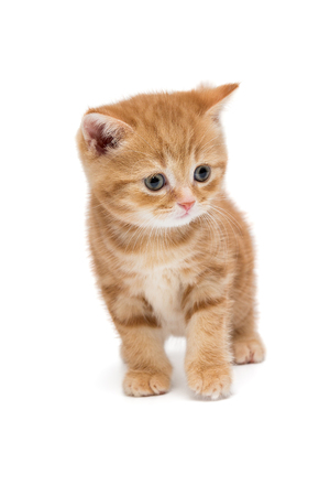 British kitten is orange in color very surprised, isolated on white