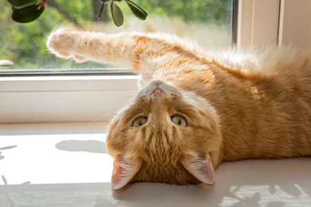 Red cat basking on a windowsill in the sun
