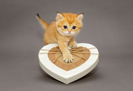 Little kitten British breed and a box in heart shape on a gray background