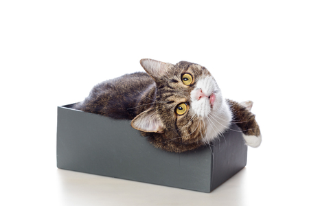 Beautiful gray cat lying in a Shoe box isolated on white Stock Photo
