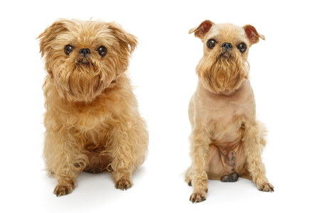 Brussels Griffon dog breed before and after haircut isolated on white Фото со стока