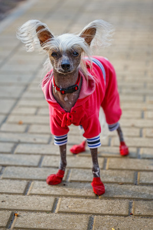 Chinese crested doggy on a walk in the Park Stock Photo