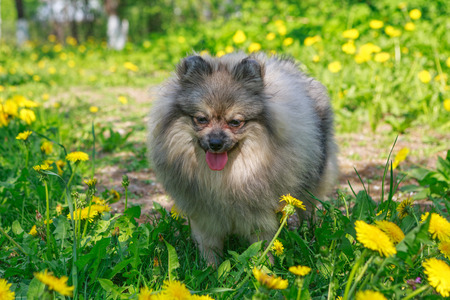 Small dog breed Pomeranian walks in the garden in spring