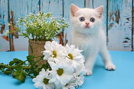 British white kitten with blue eyes and flowers on a blue background