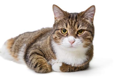 Große graue Katze isoliert auf weißem Hintergrund Standard-Bild