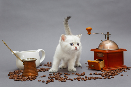 White British kitten and coffee bean mill on grey background