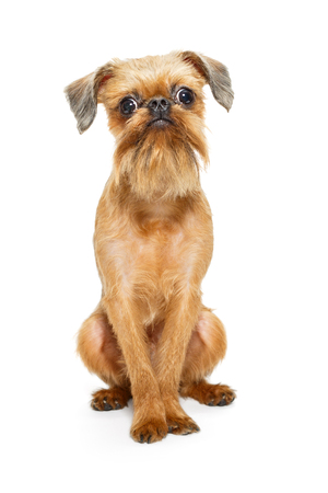 Brussels Griffon puppy isolated on white background