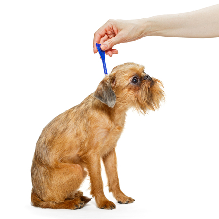 Processing dogs breed Brussels Griffon drops from fleas and ticks Фото со стока