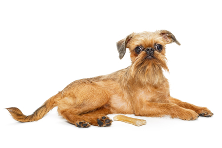 Dog breed Brussels Griffon and bone , isolated on white background