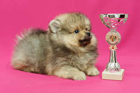 Pomeranian puppy on a pink background, looking at the Cup Foto de archivo