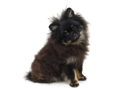Black and shaggy Pomeranian puppy, isolated on white background