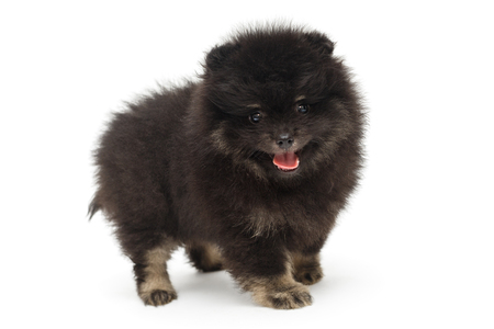 Playful black Pomeranian puppy, isolated on white background