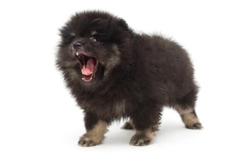Yawning black Pomeranian puppy, isolated on white background