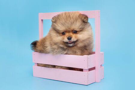 Little Pomeranian puppy in a beautiful wooden box, on blue background
