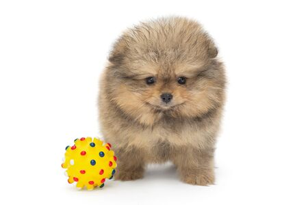 Little Pomeranian puppy and yellow ball, isolated on white background