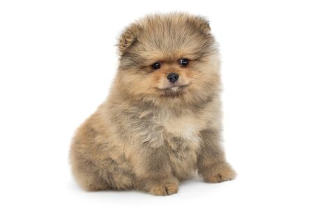 Small and shaggy Pomeranian puppy, isolated on white background