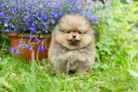 Little puppy Spitz walking on the green grass