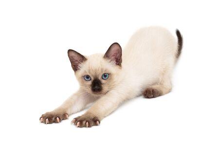 Small, sleepy Siamese kitten, isolated on white background