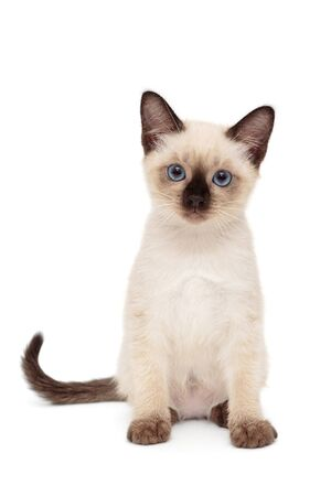 Small, funny Siamese kitten, isolated on white background