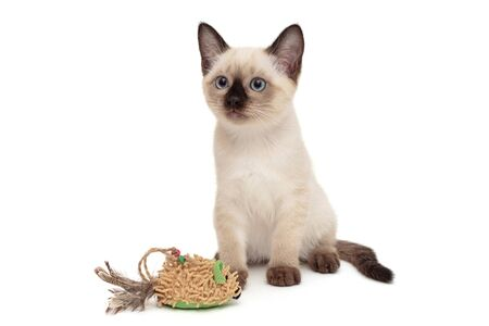 Little Siamese kitten playing with toy, isolated on white background