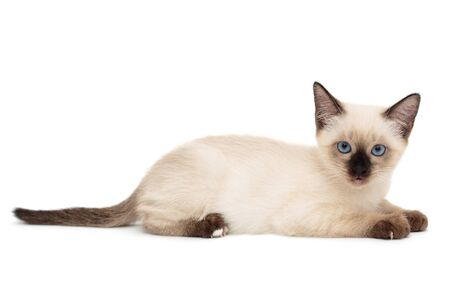 Small, funny Siamese kitten, isolated on white background Imagens