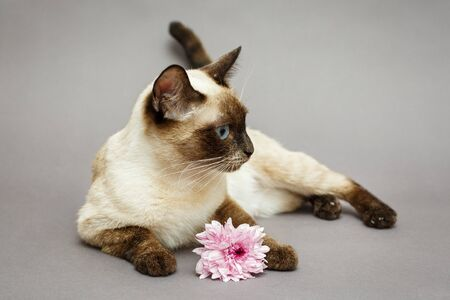 Beautiful Siamese cat flower, on grey background Фото со стока