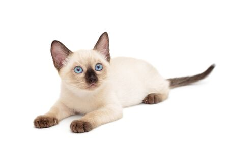Little Siamese kitten lying isolated on white background