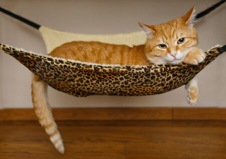Big and beautiful red cat sleeping in hammock