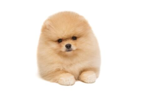 Pomeranian puppy beige color isolated on white background