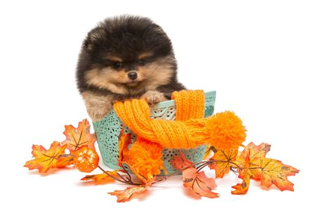 Black Pomeranian puppy in basket isolated on white background