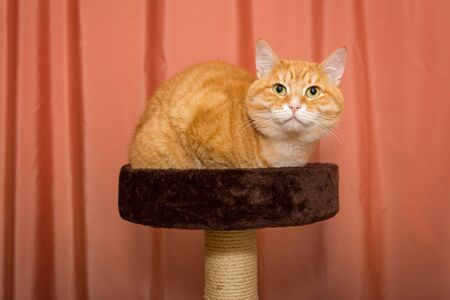 Orange, serious cat sitting on scratching posts, on the background of the curtains