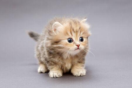 Mały kudłaty kotek rasy brytyjskiej na szarym tle Zdjęcie Seryjne